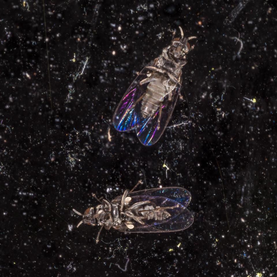 Through the glass. Sandfly / namu (Austrosimulium spp.), Supper Cove, Dusky Sound.
