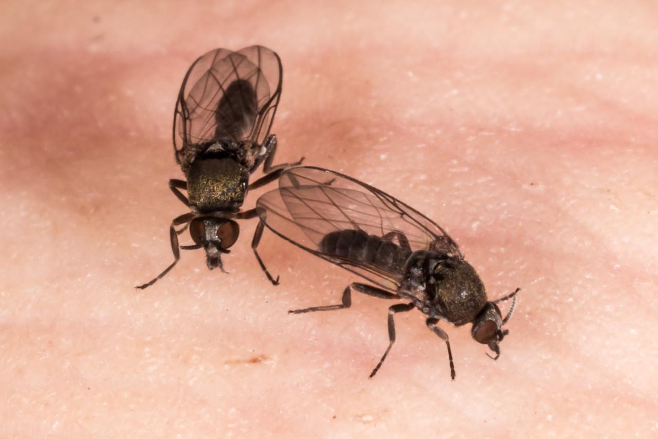 """A sandfly's supper 1 of 21. Sandfly / namu (Austrosimulium spp.), Supper Cove, Dusky Sound. h9:26' 23"""""""