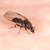 """A sandfly's supper 3 of 21. Sandfly / namu (Austrosimulium spp.), Supper Cove, Dusky Sound. h9:27' 32"""""""