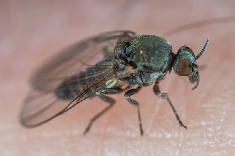 West Coast black fly (Austrosimulium ungulatum). Lake Alabaster Hut, Hollyford Track, Fiordland National Park.