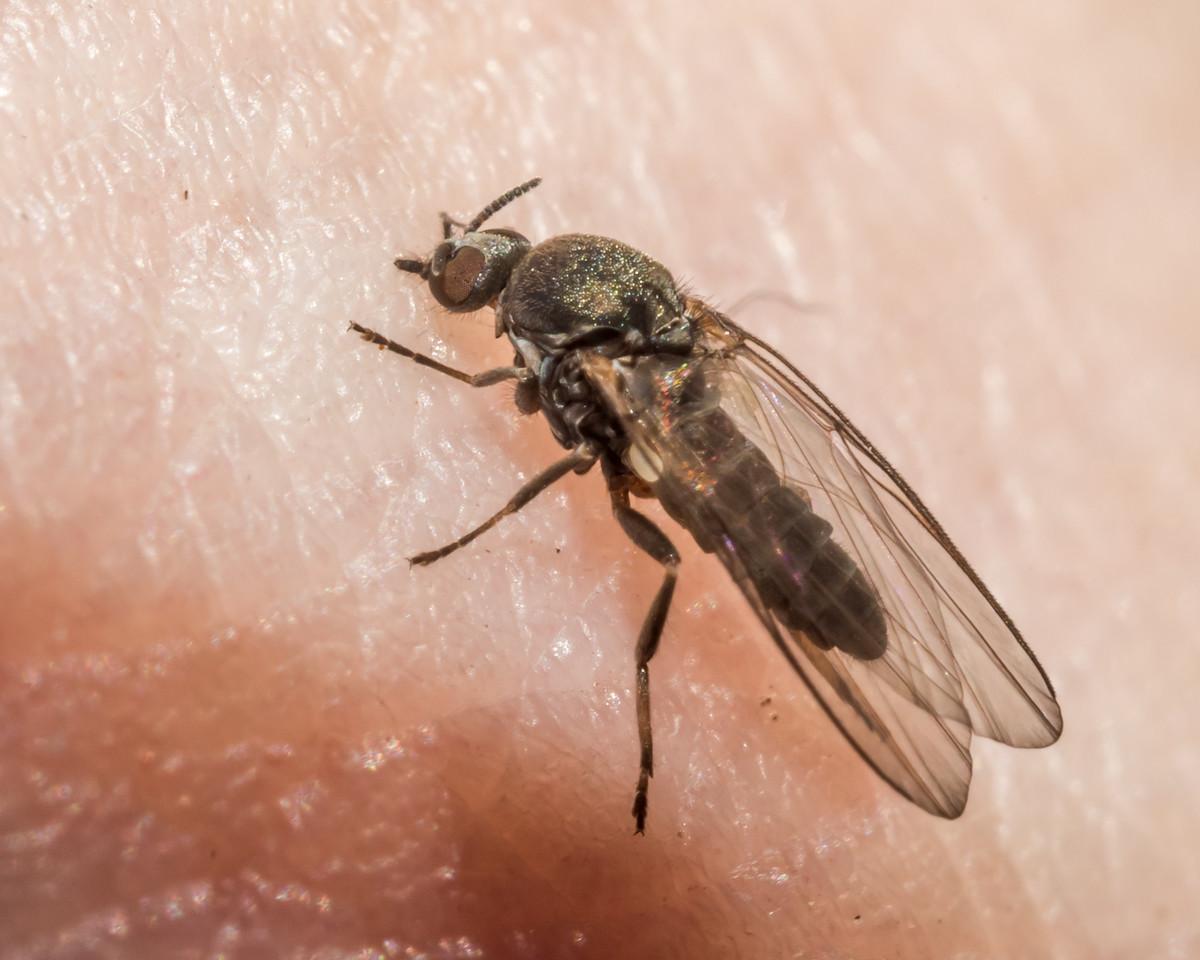 West Coast black fly (Austrosimulium ungulatum). Hope Arm, Lake Manapouri, Fiordland National Park.