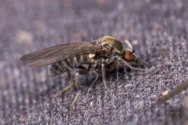 Sandfly (Austrosimulium spp.). Port Craig, Fiordland National Park.