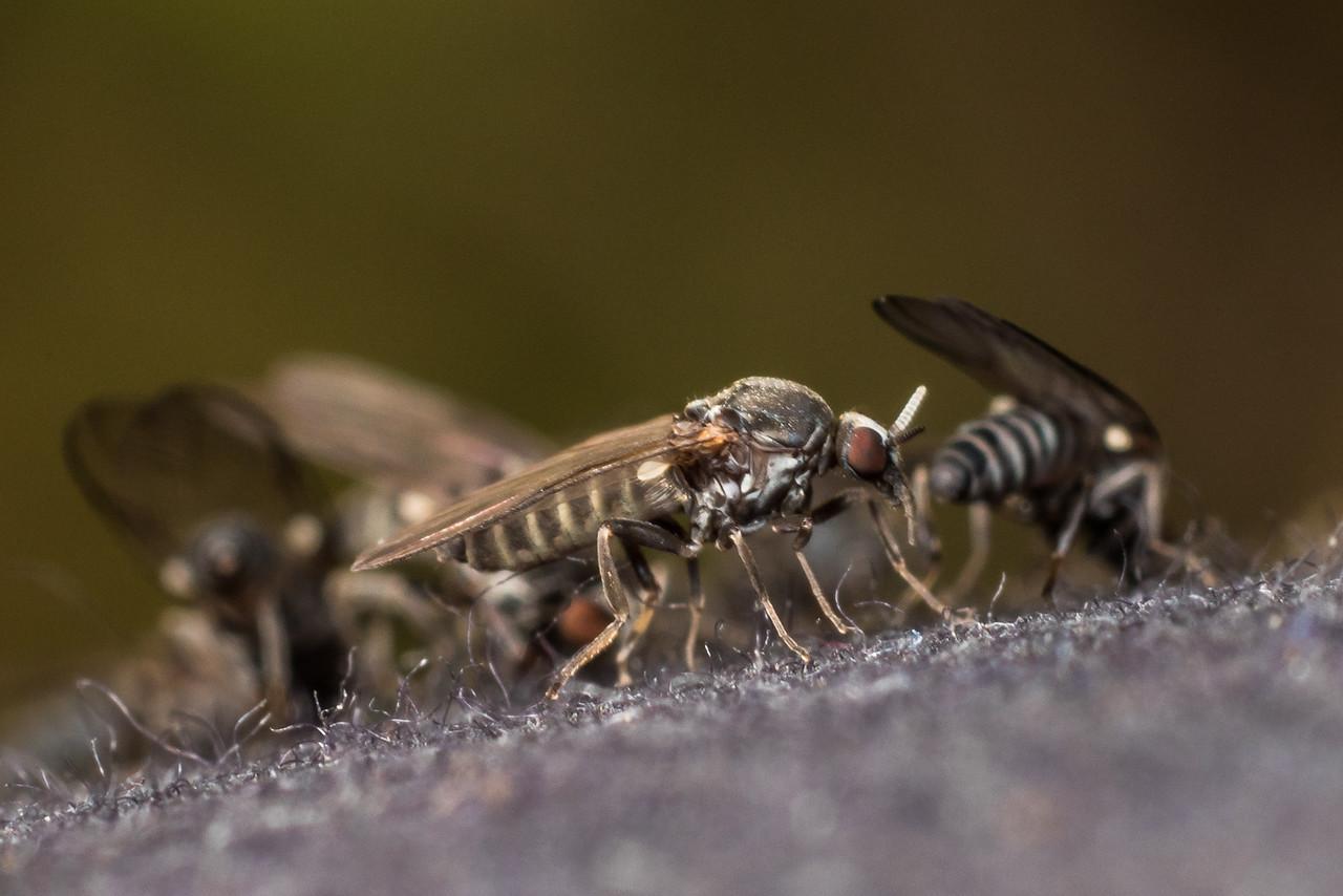 Sandfly (Austrosimulium spp.). Lake Poteriteri to Lake Mouat, Fiordland National Park.