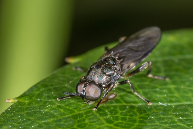 Garden soldier fly (Exaireta spinigera). Opoho, Dunedin.