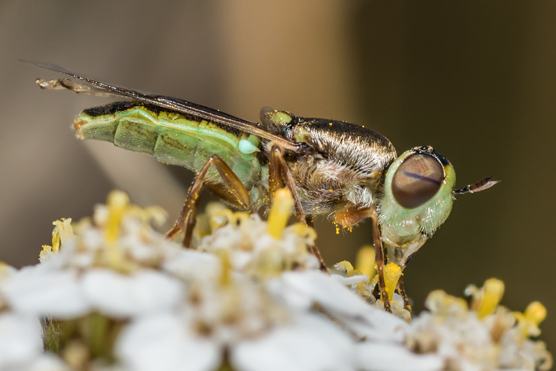 Soldier fly (Odontomyia chloris) on yarrow (Achillea millefolium). Deep Stream, Otago.