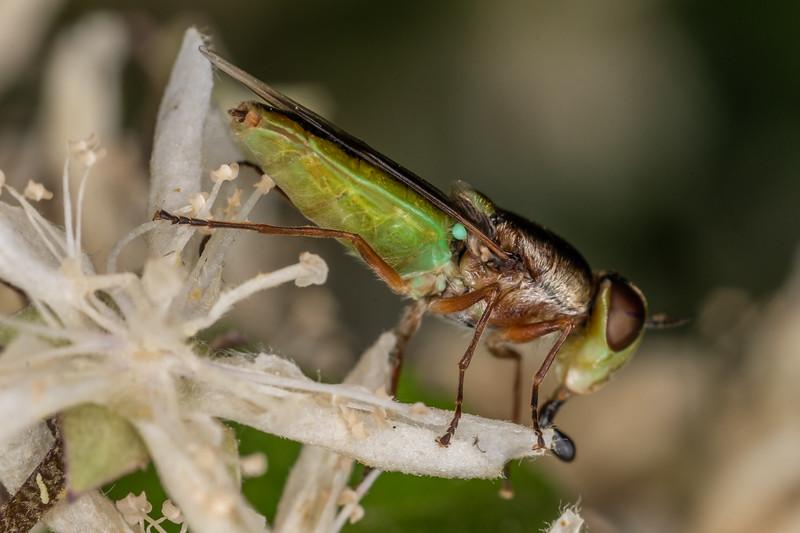 Soldier fly (Odontomyia chloris). Sinclair Wetlands, Dunedin.
