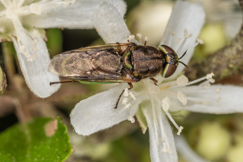 Soldier fly (Odontomyia chloris) on narrow-leaved lacebark (Hoheria angustifolia).  Sinclair Wetlands, Dunedin.