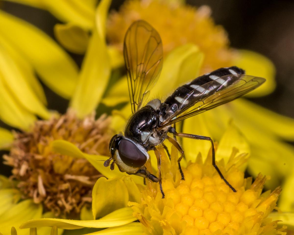 Hover fly (Allograpta spp.) on ragwort (Jacobaea vulgaris). Junction Fkat, Matukituki River East Branch, Mount Aspiring National Park.
