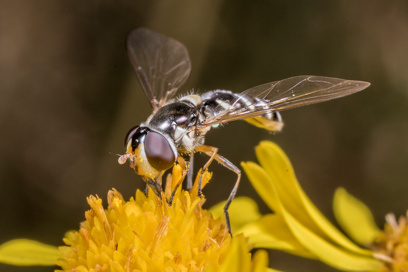 Hover fly (Allograpta spp.) on ragwort (Jacobaea vulgaris). Junction Fkat, Matukituki River East Branch, Mount Aspiring National Park.