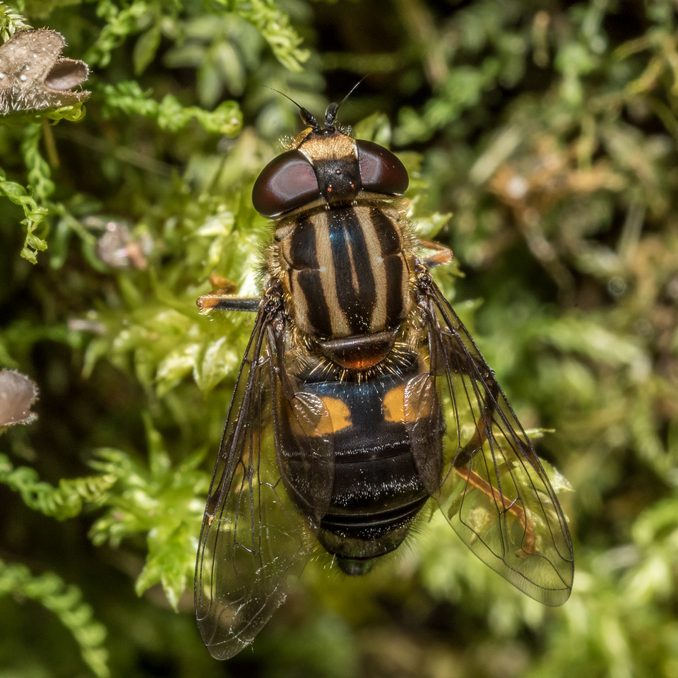 Hover fly (Helophilus antipodus). Hollyford Track, Fiordland National Park.