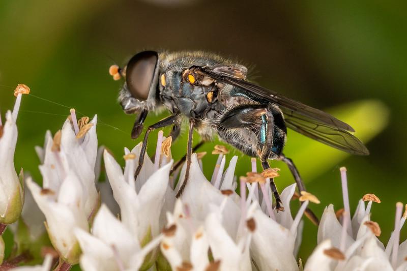 Metallic blue hover fly (Helophilus hochstetteri). Sinclair Wetlands, Dunedin.