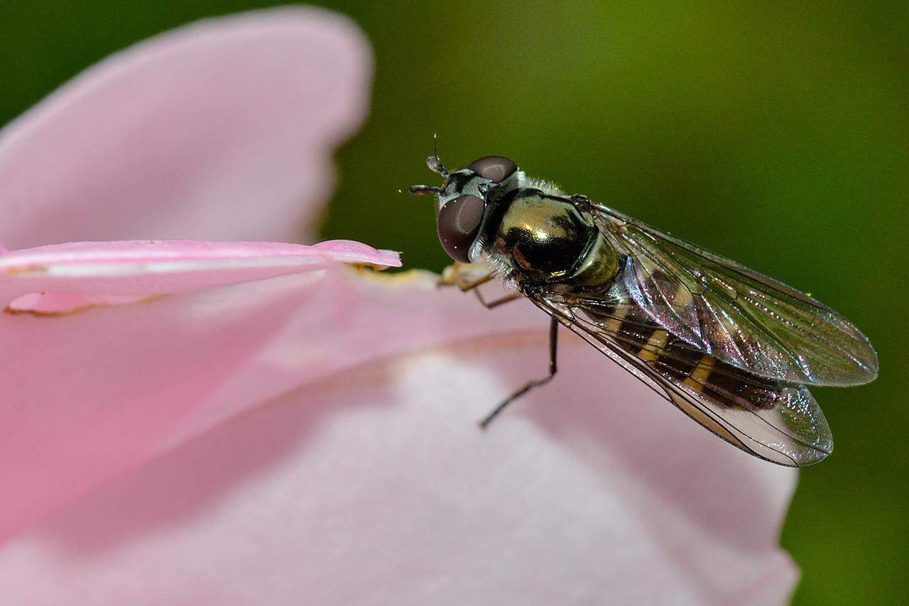 Large hover fly (Melangyna novaezelandiae). Opoho, Dunedin.