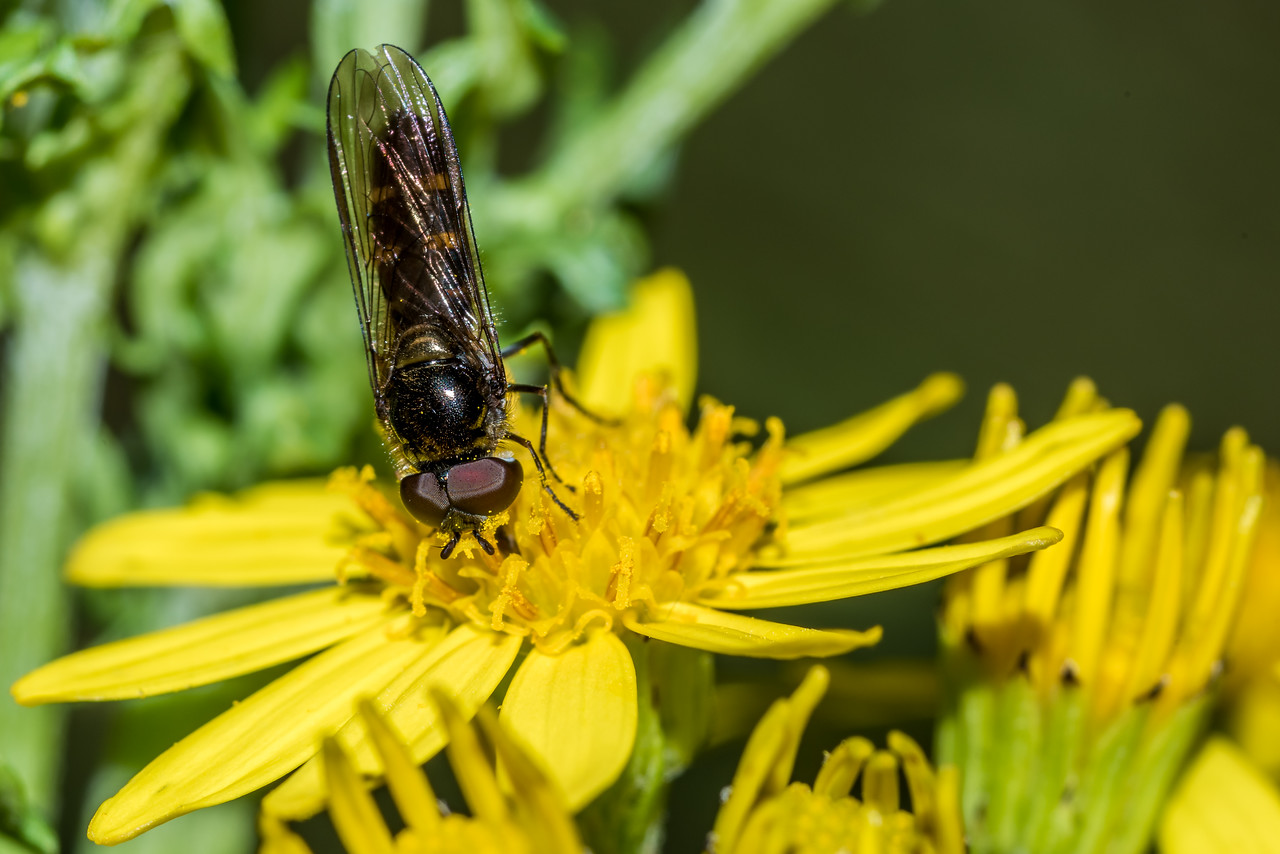Male large hover fly (Melangyna novaezelandiae) on ragwort (Jacobaea vulgaris). Raspberry Flat, Matukituki River West Branch.