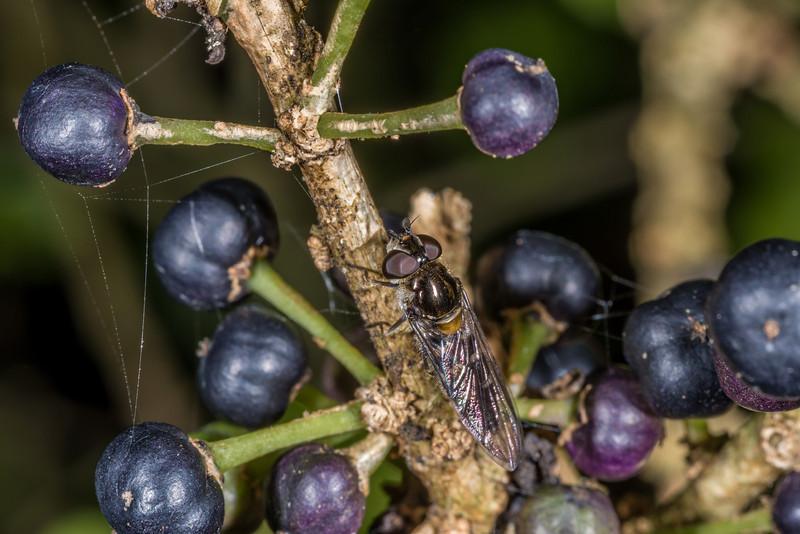 Large hover fly (Melangyna novaezelandiae) on whiteywood / māhoe  (Melicytus ramiflorus). Heyward Point, Dunedin.