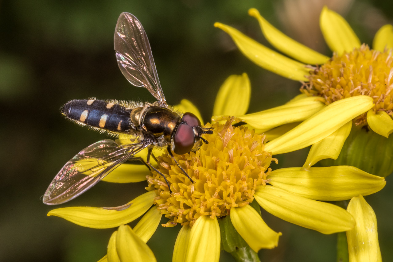 Large hover fly (Melangyna novaezelandiae) on ragwort (Jacobaea vulgaris). Junction Fkat, Matukituki River East Branch, Mount Aspiring National Park.