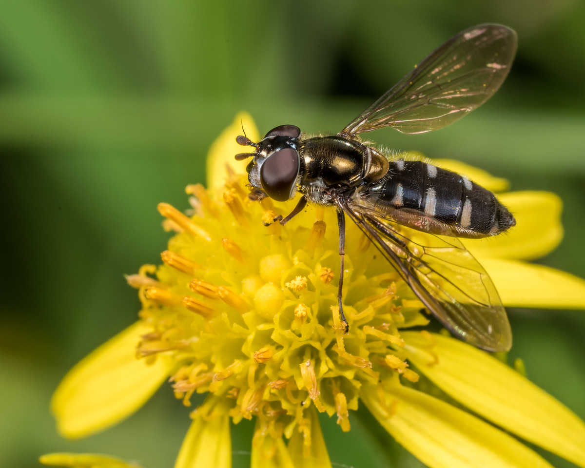 Large hover fly (Melangyna novaezelandiae). OBHS Lodge, Matukituki River West Branch.