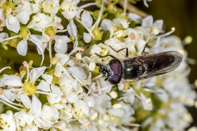 Hover fly (Psilota decessa? Or Platycheirus sp.?) feeding on Aciphylla crosby-smithii. Mount Luxmore, Fiordland National Park.