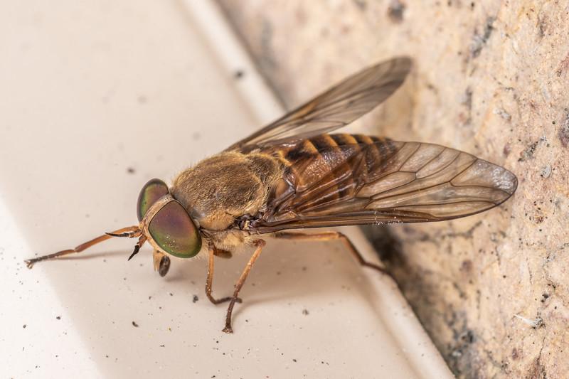 Horse fly (Dasybasis spp.). Whangarei, Northland.