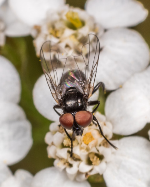 Tachinid (Phasia campbelli). Deep Stream, Otago.