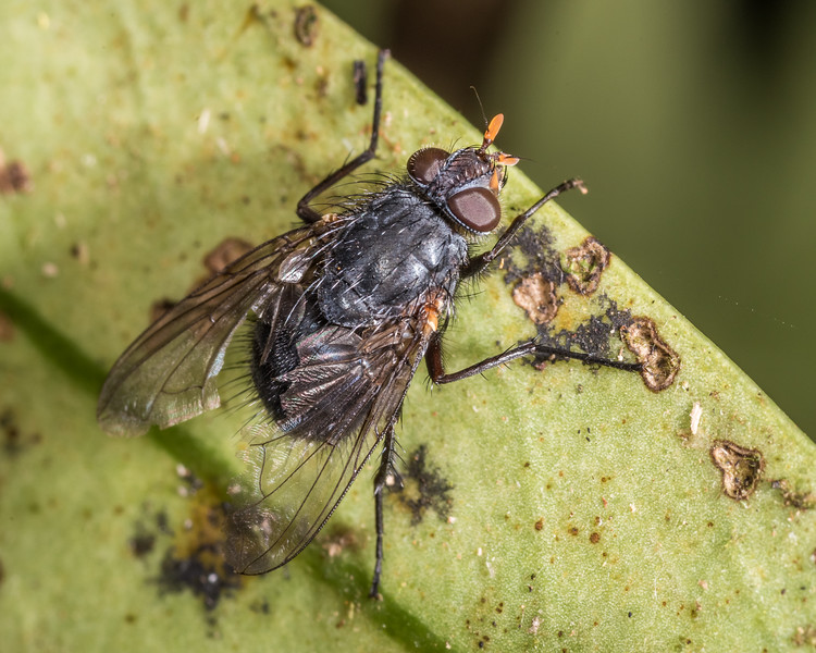 Bristle fly (Tachineo spp.). Rangaika Scenic Reserve, Chatham Island.
