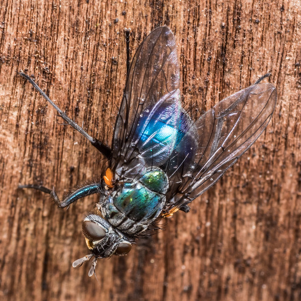 Bristle fly (Family Tachnidae). Flora Hut, Kahurangi National Park.
