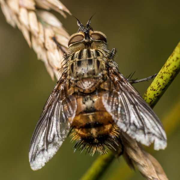 Bristle fly (Tachinidae). Deep Stream, Otago.