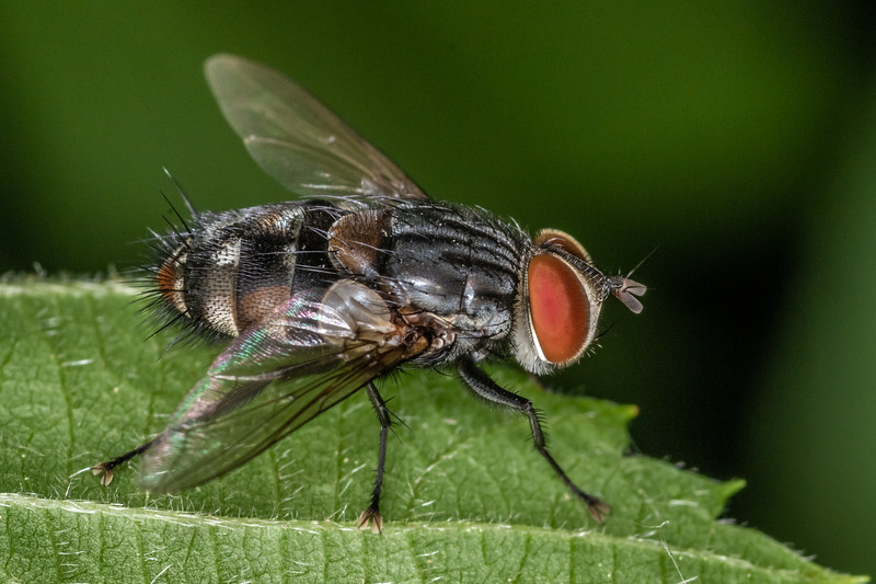 Tachinid (Winthemia<br />  spp.). Wild River State Park, MN, USA.