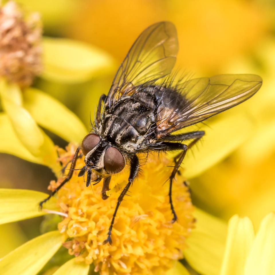 Zealandotachina nigrifemorata, a tachinid fly, on ragwort (Jacobaea vulgaris). Junction Fkat, Matukituki River East Branch, Mount Aspiring National Park.