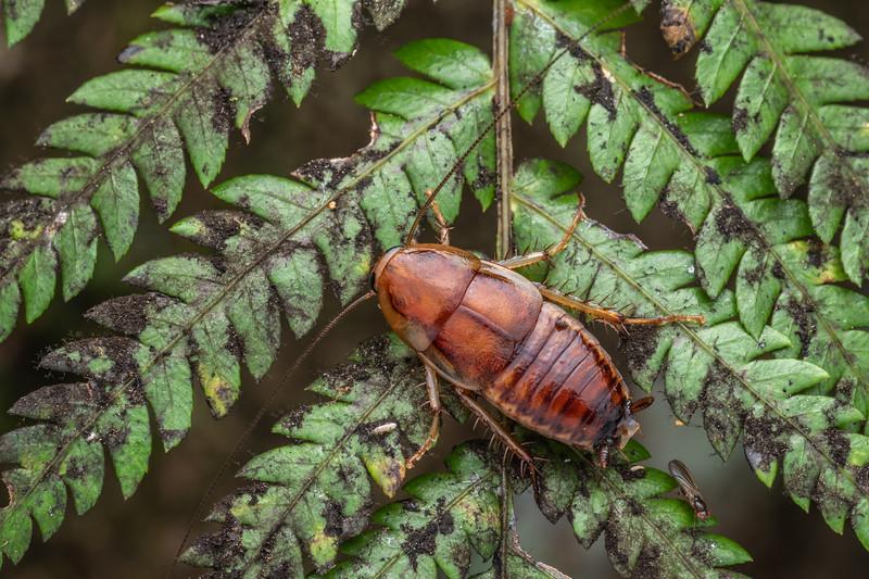 Cockroach (Celatoblatta undulivitta) and small fly (Teratomyza neozelandica). Bridge to Nowhere, Whanganui National Park.