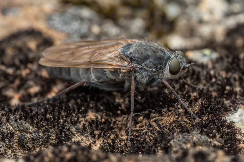 Stiletto fly (Anabarhynchus robustus). Mount Somers, Canterbury.