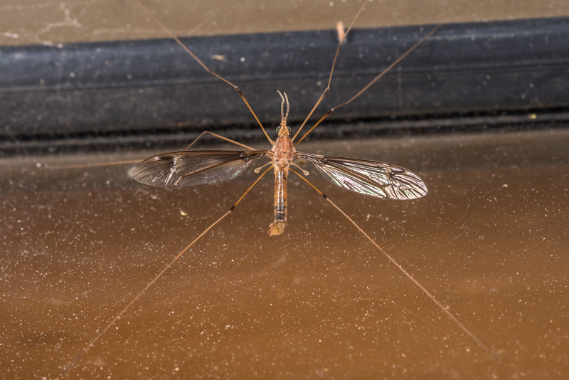 Crane fly (Brevicera heterogama). OBHS Lodge, Matukituki River West Branch.