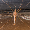 Crane fly (Brevicera heterogama). OBHS Lodge, Matukituki River West Branch.