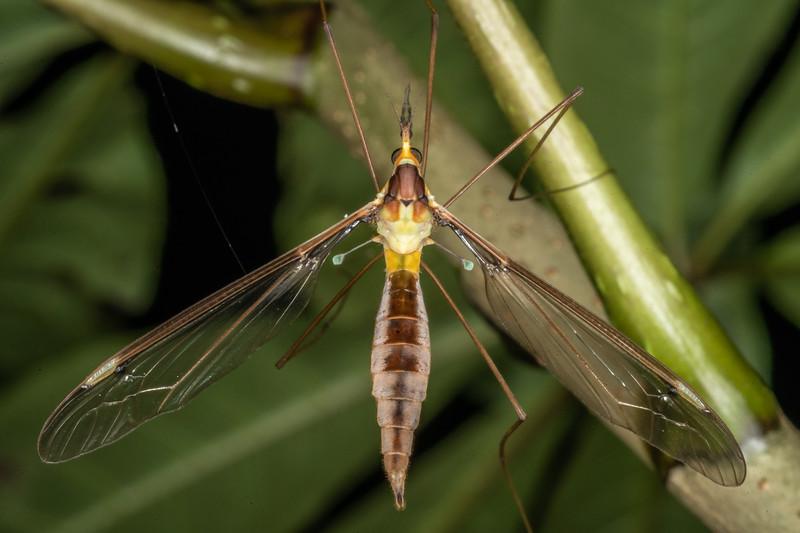 Crane fly (Leptotarsus albistigma). Sledge Track, Palmerston North.