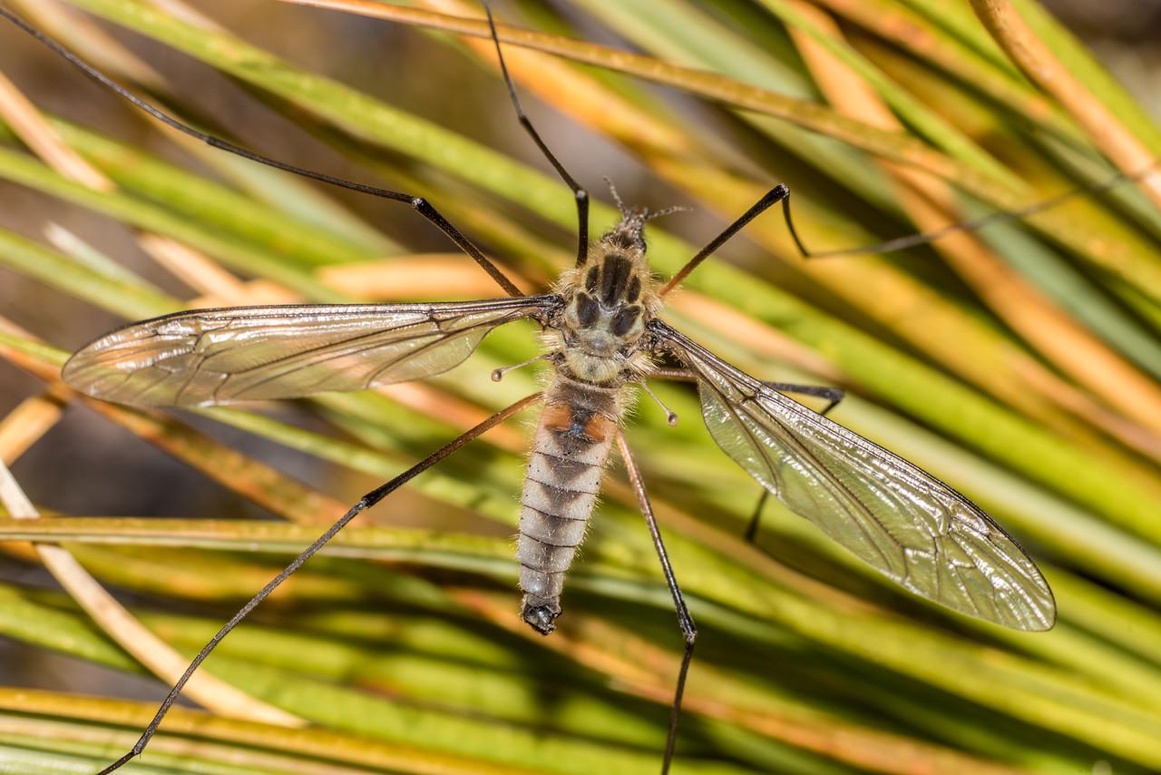 Mountain crane fly (Leptotarsus montanus). Rugged Mount, Cameron Mountains, Fiordland National Park.