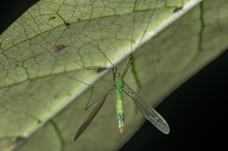 Crane fly (Leptotarsus virescens). Dover Route, Taranaki.