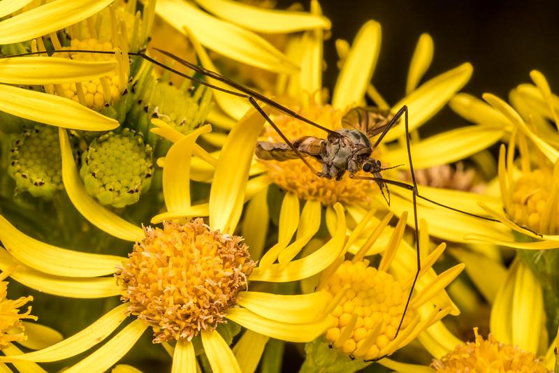 Leptotarsus vulpinus on ragwort (Jacobaea vulgaris). Junction Flat, Matukituki River East Branch, Mount Aspiring National Park.