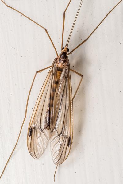 Large crane fly (Family Tipulidae). Opoho, Dunedin.