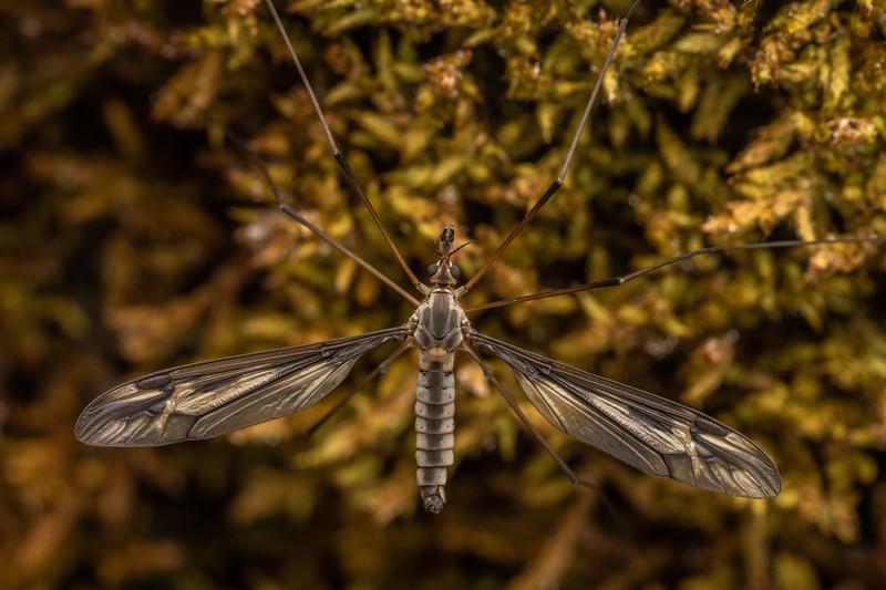 Crane fly (Leptotarsus sp.). Mount Somers, Canterbury.