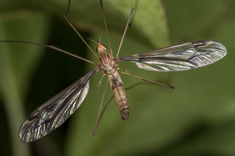 Crane fly (Leptotarsus spp.). Oparara, Westland.
