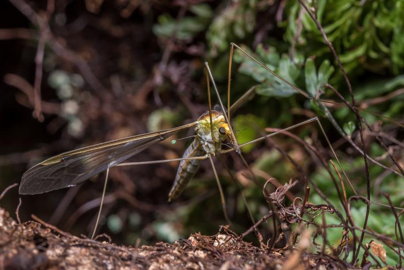Crane fly (Leptotarsus spp.). McLennan Hut, Catlins Forest.