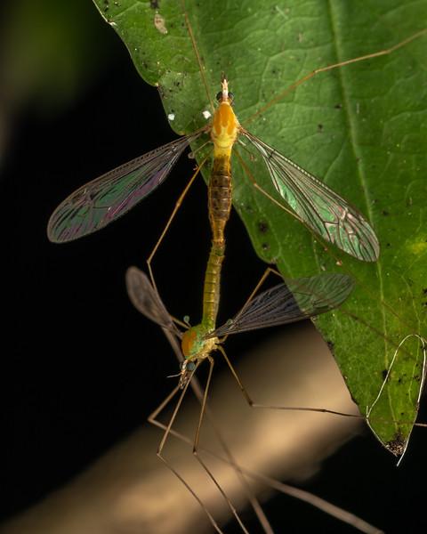 Cranefly (Leptotarsus sp.). Driving Creek Ecosanctuary, Coromandel.