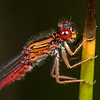 Red damselfly (Xanthocnemis zealandica). Deep Stream, Otago.