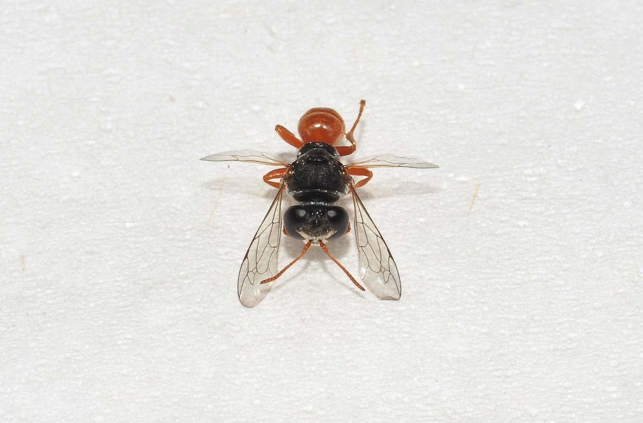 Pison (Crabronidae, Trypoxylini)