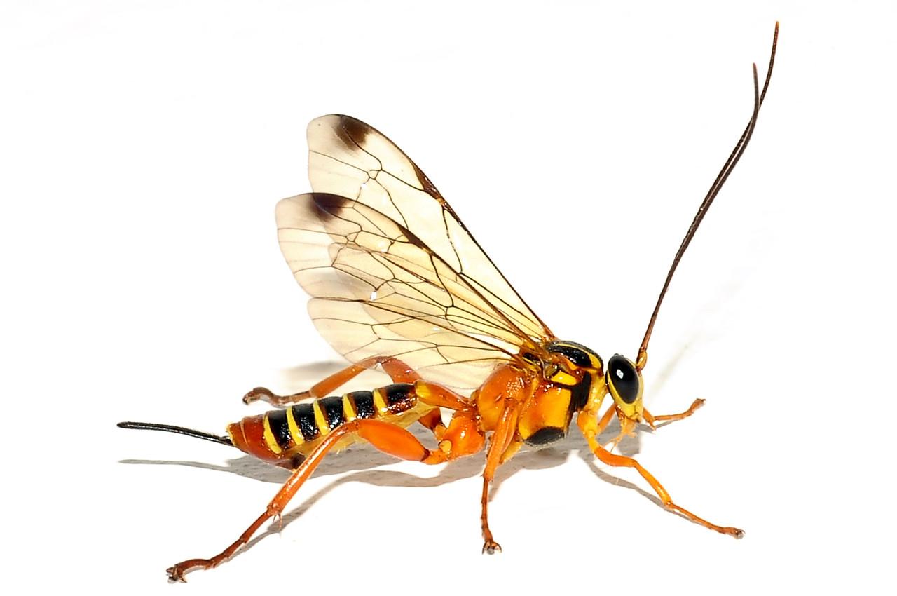 Echthromorpha agrestoria (Swederus,1787), Ichneumonidae, Pimplinae. Darwin, NT, Australia. July 2011