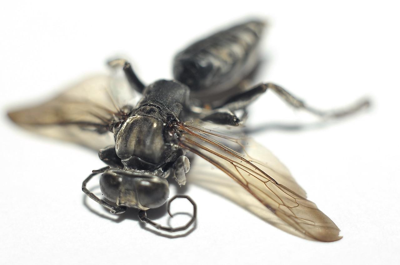 Crabronidae, Digger wasp. Darwin, NT, Australia. May 2011