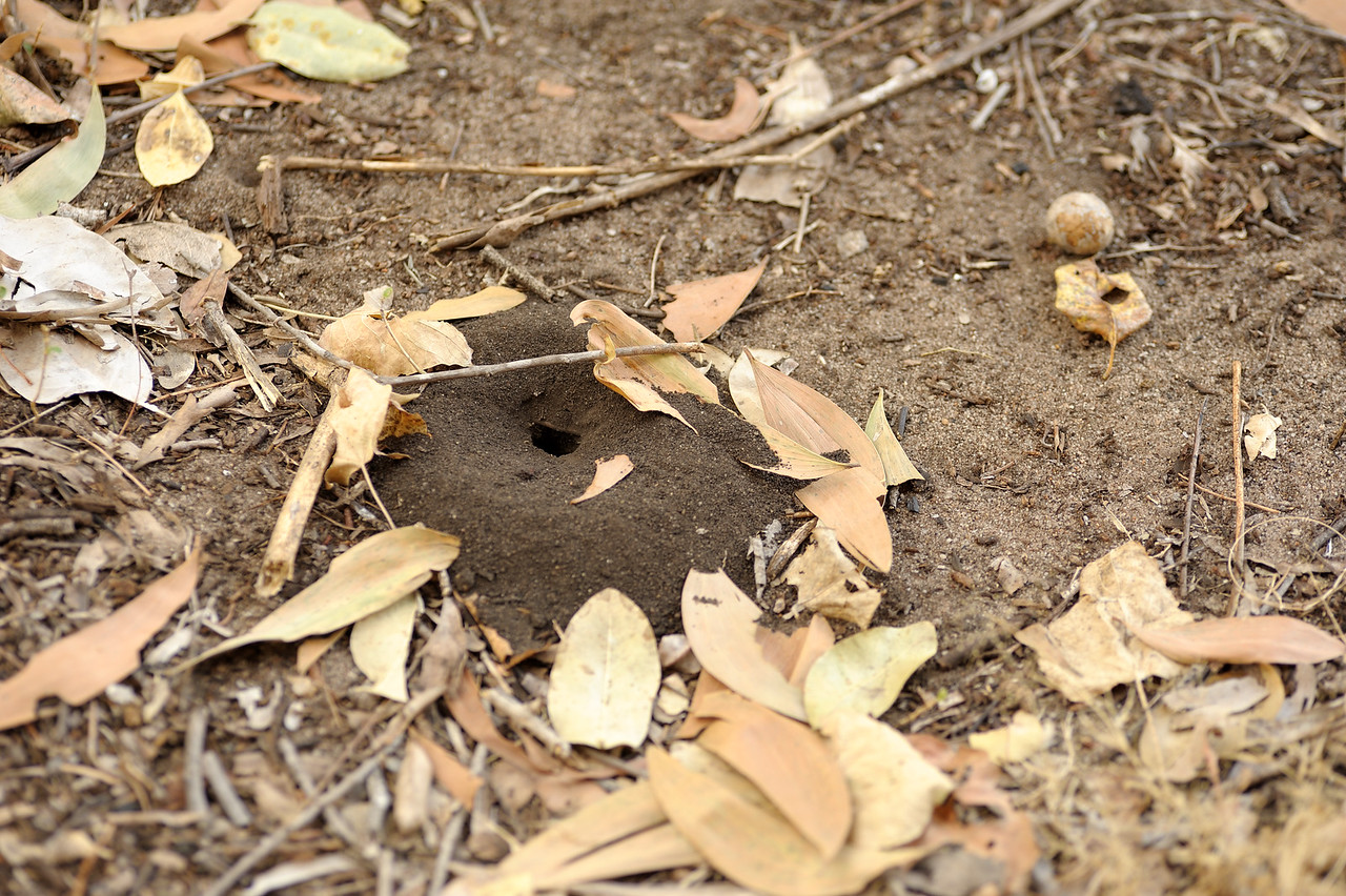 Digger Wasp nest. Kakadu National Park, NT, Australia. September 2010