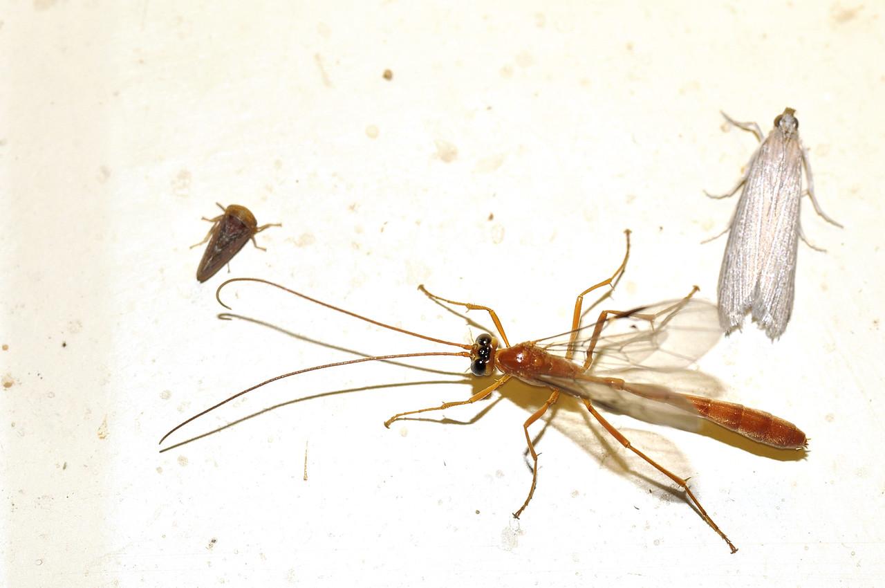 Ophioninae, Enicospilus or Dicamptus, Slender Ichneumon Wasp. Mataranka Homestead, NT, Australia. April 2010