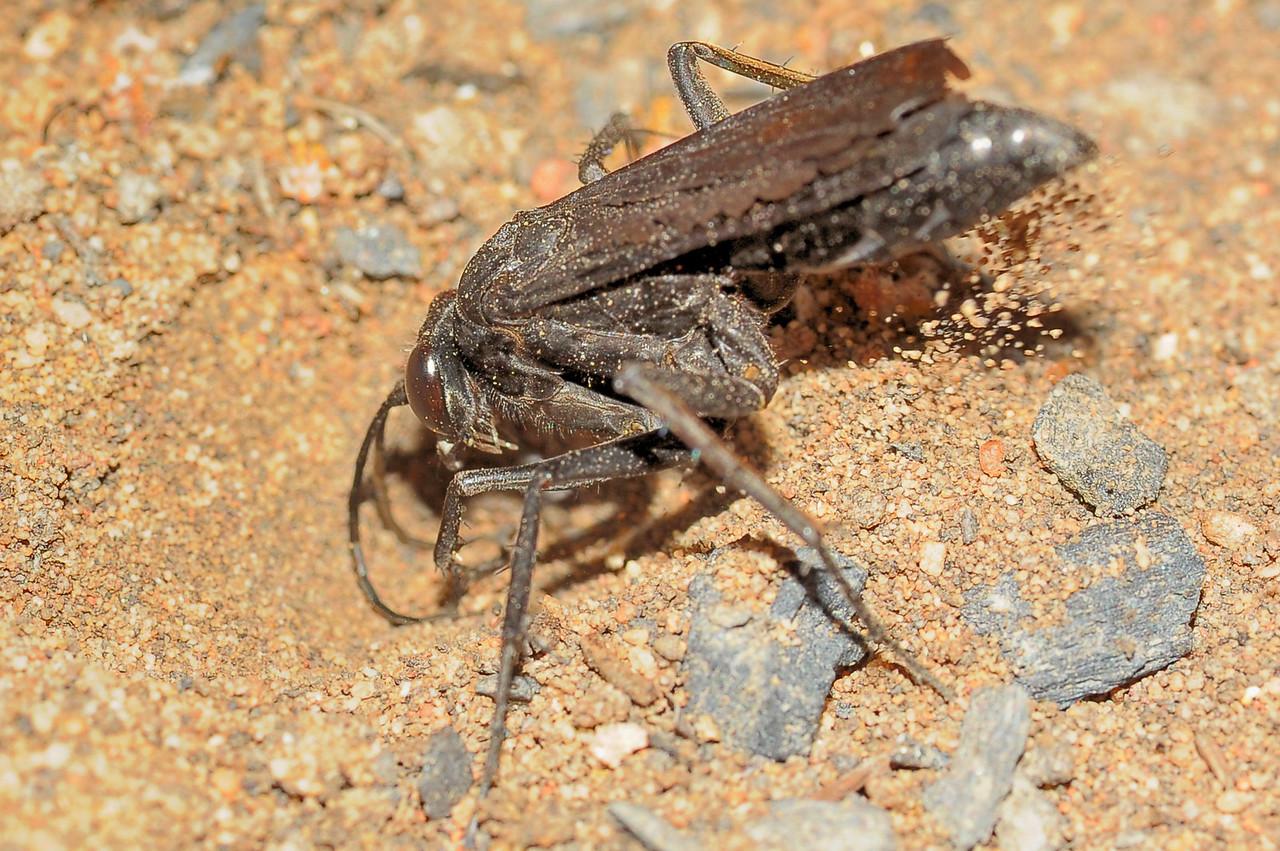 Sphex cognatus, Black Digger Wasp. Kakadu National Park, NT, Australia. June 2011