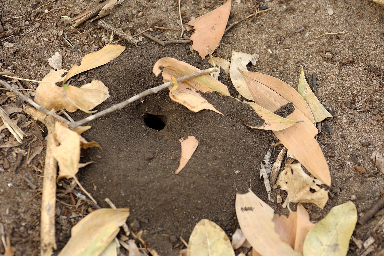Digger Wasp nest. Kakadu National Park, NT, Australia. September 2010