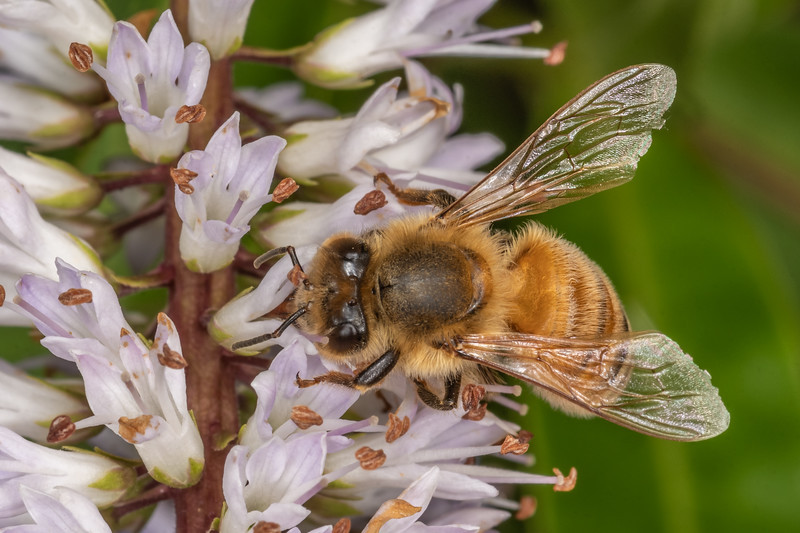 Honey bee (Apis mellifera). Sinclair Wetlands, Dunedin.